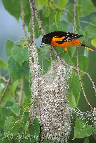 Baltimore Oriole (Icterus galbula) male brings food to its nest, Ithaca, NY, USA<br /> Slide # B166-161