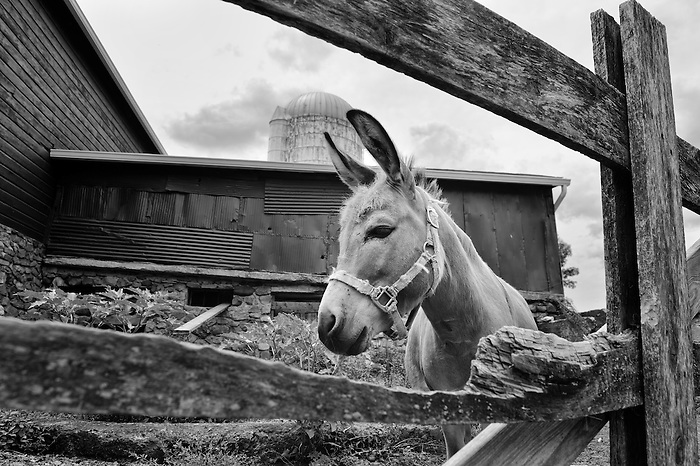Eeyore the donkey at Drew Farm in Warwick, NY