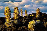 A cluster of full bloom Silverswords on the slopes of HALEAKALA NATIONAL PARK on Maui in Hawaii at sunset