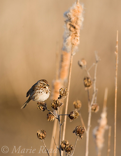 Song Sparrow (Melospiza melodia), male in a cattail marsh, Montezuma National Wildlife Refuge, New York, USA