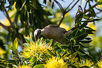 The Helmeted Friarbird (Philemon buceroides) feeding on golden penda flowers