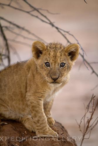 African lion cub, Lower Zambezi National Park, Zambia. (This species is found in many African countries including South Africa, Botswana, Zambia, Zimbabwe, Namibia, Tanzania, Kenya, Rwanda, Uganda)