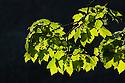 Sycamore (Acer pseudoplatanus) leaves backlit. Peak District National Park, UK. May.