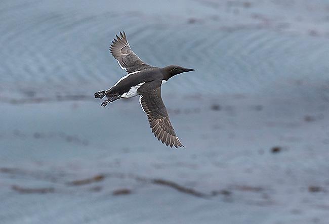 Common Murre (Uria aalge) in flight, St. Paul Island, Pribilofs, Alaska, USA