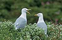 Herring Gull, Larus argentatus, adults, Hornoya Nature Reserve, Vardo, Norway, June 2001