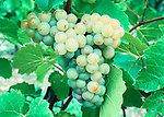 Seyvaz grapes, Somerset, England.