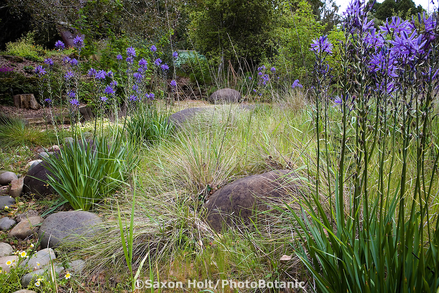 Blue flowering native bulb wildflower Camas Lily ( Camassia quamash) with California fescue grasses in naturalistic drought tolerant, spring meadow garden lawn substitute