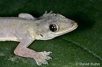 0507-08xx  Flat-tailed House Gecko, Cosymbotus platyurus © David Kuhn/Dwight Kuhn Photography