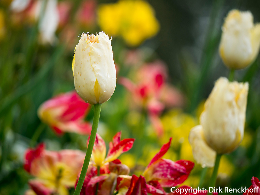 Tulpen, Bodensee - Insel Mainau, Baden-W&uuml;rttemberg, Deutschland, Europa<br /> tulips, Isle of Mainau, Lake Constance, Baden-W&uuml;rttemberg, Germany, Europe
