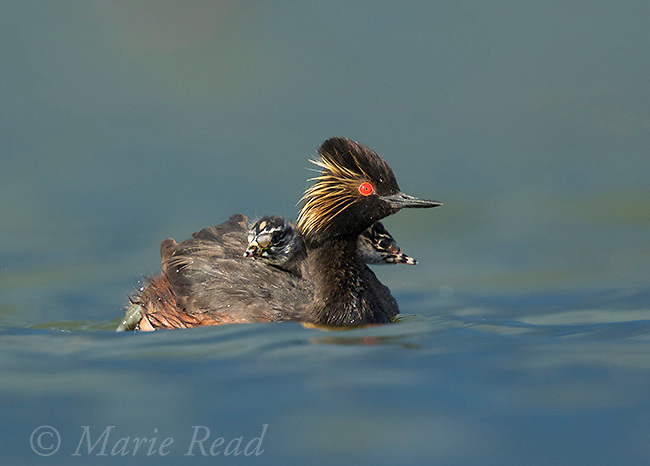 Eared Grebe (Podiceps nigricollis) adult with two chicks riding on its back, Bowdoin National Wildlife Refuge, Montana, USA