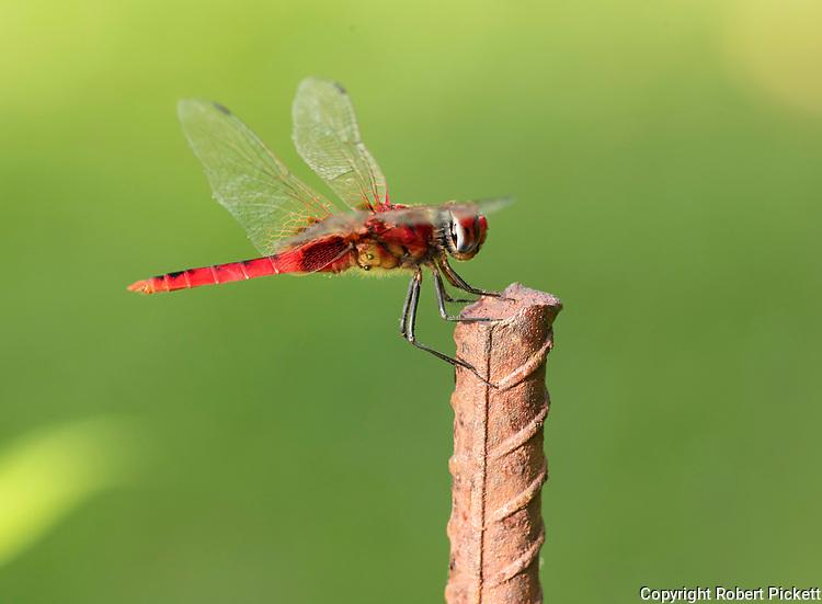Oriental Scarlet Dragonfly, Crocothemis servilia servilia, perched on post, Gal Oya National Park, Sri Lanka