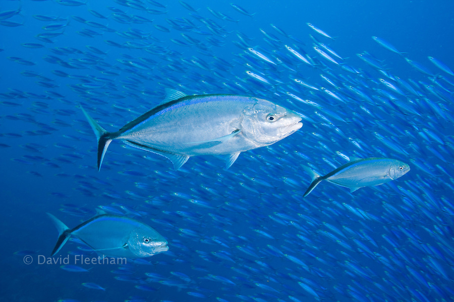 The bar jack, Caranx ruber, is a common Caribbean species.  These three are hunting schooling baitfish off the island of Bonaire.