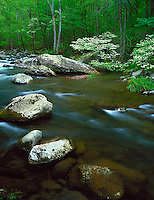 Great Smoky Mountains National Park, TN/NC<br /> Flowering dogwood trees (Cornus florida) on the banks of the Middle Prong Little River in Spring