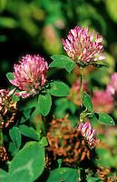 Wiesen-Klee, Wiesenklee, Rot-Klee, Rotklee, Klee, Trifolium pratense, Red Clover