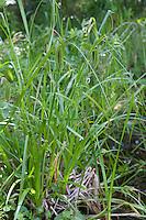 Zypergras-Segge, Scheinzyper-Segge, Scheinzypersegge, Scheinzypergras-Segge, Zypergrassegge, Scheinzypergrassegge, Zyperngras-Segge, Scheinzyperngras-Segge, Segge, Seggen, Carex pseudocyperus, Cyperus Sedge