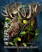 Steven-Michael, REALISTIC ANIMALS, REALISTISCHE TIERE, ANIMALES REALISTICOS, paintings+++++,USMG127,#a#, EVERYDAY ,elk,moose,puzzle,puzzles