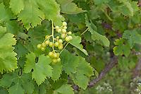 Weinrebe, Wein, Wein-Rebe, Vitis vinifera, Grape Vine
