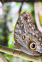 Owl Butterfly, Mashpi Cloud Forest, Choco Rainforest, Ecuador, South America