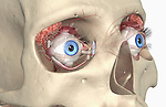 An anterolateral (right side) view of the lacrimal apparatus of the eyes relative to the brain and skull. It is responsible for the production, distribution and removal of tears in the eye. Royalty Free