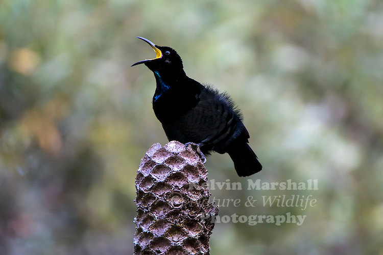 The male Victoria's Riflebird is black with iridescent blue/green markings on his head, chest and tail.  When he flies, you can hear a sound of rustling paper.  The female and juveniles are brown.   When calling to the female, the male makes a harsh, grating call, and opens his beak wide, showing the bright yellow colour inside. Lake Barrine - Far - North Queensland, Australia.