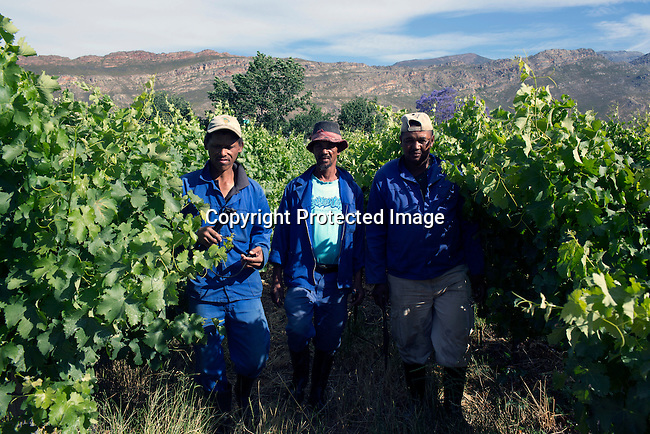 CAPE TOWN, SOUTH AFRICA - NOVEMBER 19: Farmworkers at a wine farm on November 19, 2015 in in Boland area outside of Cape Town, South Africa  (Photo by: Per-Anders Pettersson)