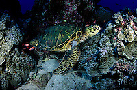 Air breathers, green sea turtles, Chelonia mydas, resting in crevices on the reef can stay submerged for several hours at night