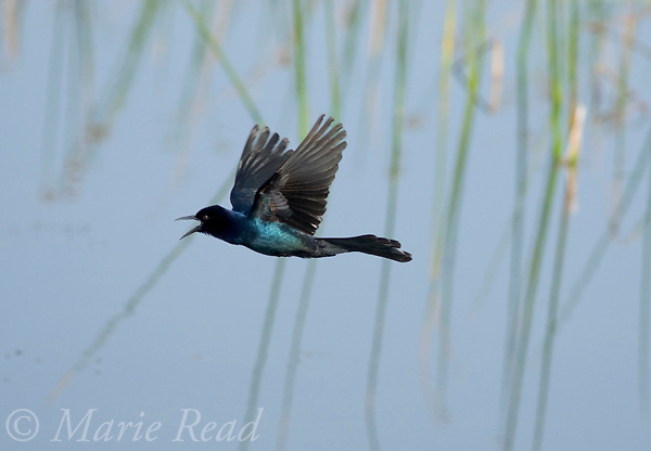 Boat-tailed Grackle (Quiscalus major) male calling in flight, Brevard County, Florida, USA
