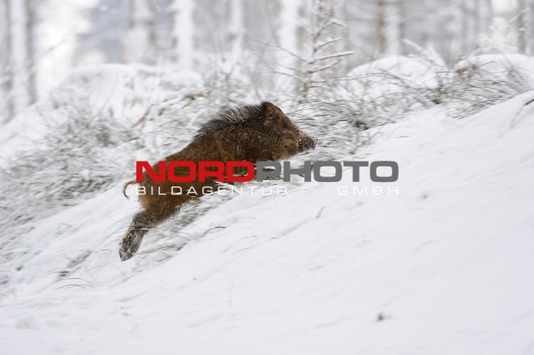 GER, Natur, Melle, GER, Feature Winterwetter, im Bild Wildschwein im Schnee, Winter Foto © nph / Rolfes
