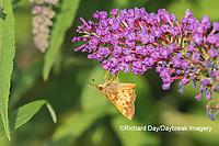 03738-00316 Zabulon Skipper (Poanes zabulon) male on Butterfly Bush (Buddleja davidii) Marion Co. IL