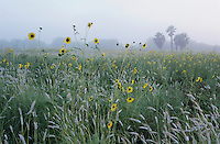 Sunflower, Helianthus sp., blooming with dew and fog and palm trees, The Inn at Chachalaca Bend, Cameron County, Rio Grande Valley, Texas, USA