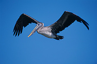 Brown Pelican, Pelecanus occidentalis,immature in flight, Port Aransas, Texas, USA, December 2003