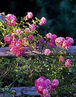 Roses growing wild on old fence. Near Alpine, Oregon.