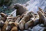 Steller sea lions, Glacier Bay National Park and Preserve, Alaska