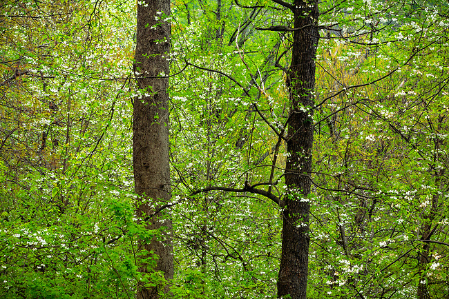 Silverbell (Halesia carolina) in spring bloom, Great Smoky Mountains National Park