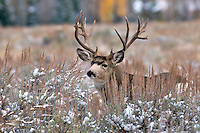 Trophy, non-typical, Buck Mule Deer, fall snow, Jackson Hole Wyoming<br />