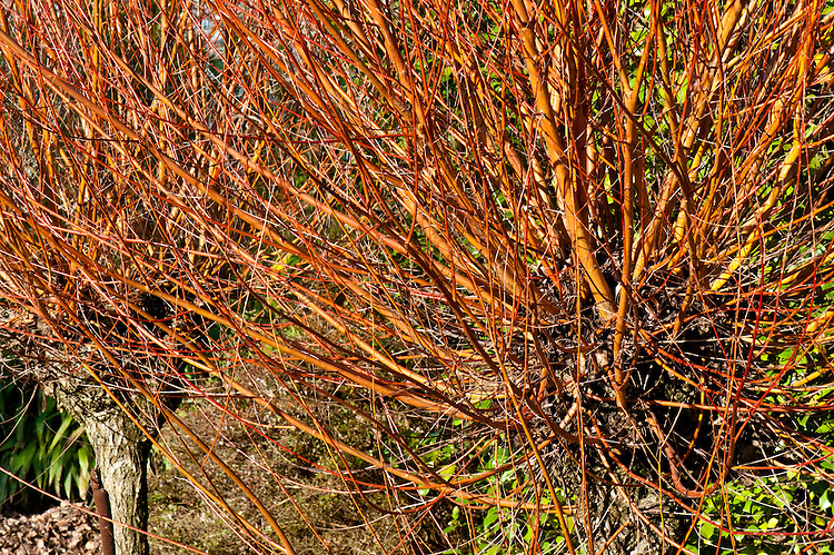 Coral bark willow or scarlet willow (Salix alba subsp. vitellina 'Britzensis'), end January.