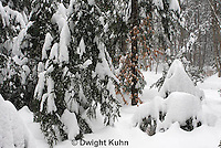 MA19-530z  Snowshoe Hare camouflaged in snow, Lepus americanus