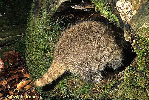 MA25-113z  Raccoon -young animal entering den - Procyon lotor