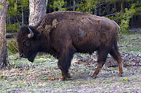 A bison (Bison bison) strolls along the roadway near Norris Junction in Yellowstone National Park