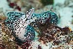 Gymnothorax moringa, Spotted moray, Cozumel, Mexico