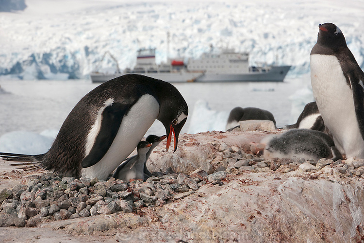 Petermann Island, home to the southernmost breeding colony of gentoo penguins, located below the Lemaire channel, near the Antarctic Peninsula. In the background is the Scandinavian-built ice-breaker Akademik Sergey Vavilov, which was originally built for the Russian Academy of Science and still used occasionally by scientists. It is now predominantly used for adventure touring in both the Arctic and the Antarctic. The ship is currently operated by a Russian crew, and staffed with employees of the adventure touring company Quark Expeditions, and carries around 100 passengers at a time. Antarctic Peninsula...