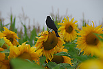 sunflowers and blackbird