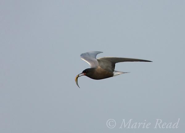 Black Tern (Chlidonias niger) in flight, carrying a fish, Montezuma National Wildlife Refuge, New York, USA
