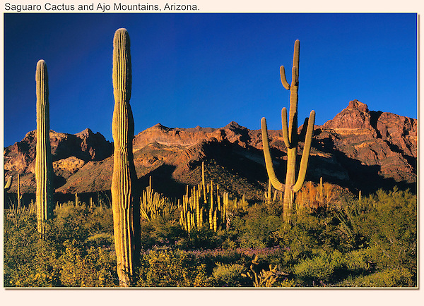 Shoot icons. Saguaro cactus at sunset with the Ajo Mountains, Organ Pipe Cactus National Monument, Arizona. .  John offers private photo tours in Arizona and and Colorado. Year-round.