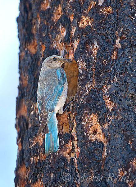 Mountain Bluebird (Sialia currucoides) female at nest hole in burned Jeffrey Pine (Pinus jeffreyi), Mono Basin, California, USA