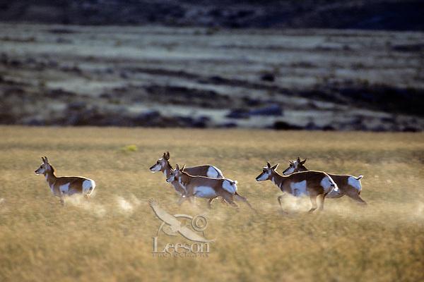 Pronghorn antelope, fastest North American land mammal, Western U.S., Fall