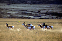 Pronghorn antelope, fastest North American land mammal, Western U.S., Fall