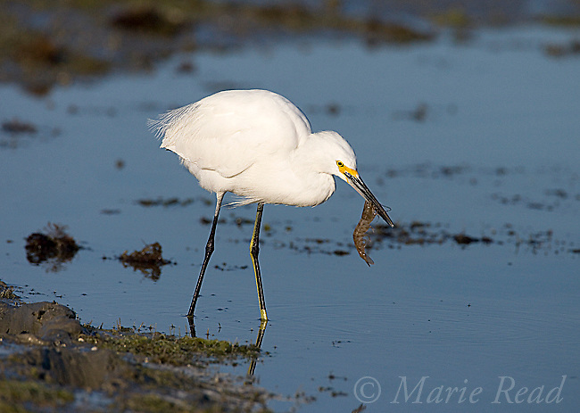 Snowy Egret (Egretta thula) feeding on shrimp, Estero Lagoon, Ft. Myers, Florida, USA