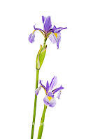 30099-00416 Blue Flag Irises (Iris versicolor) (high key white background) Marion Co. IL