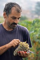 Europe/Croatie/Dalmatie/ Ile de Vis/ Komiza:  Ante Ivcevic viticulteur  lors des vendanges